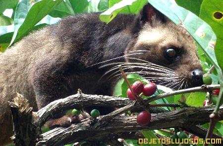 Paradoxurus-gato-kopi-luwak